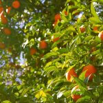 arance albero