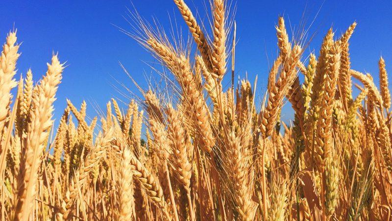8 wheat-863392_960_720